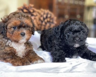 Toy Shihpoo Puppies