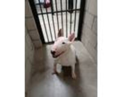 Adopt Cleopatra a White Bull Terrier / Mixed dog in Palm Desert, CA (32102040)