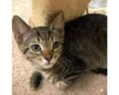 Adopt Edward a Brown or Chocolate Domestic Shorthair / Mixed cat in Blasdell