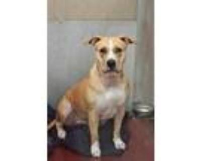 Adopt Winter a Tan/Yellow/Fawn American Pit Bull Terrier / American Pit Bull