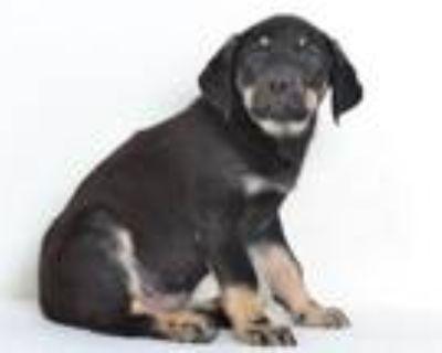 Adopt A591035 a Rottweiler, Labrador Retriever