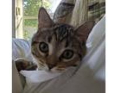 Adopt Fennel a Domestic Shorthair / Mixed cat in Potomac, MD (31634955)