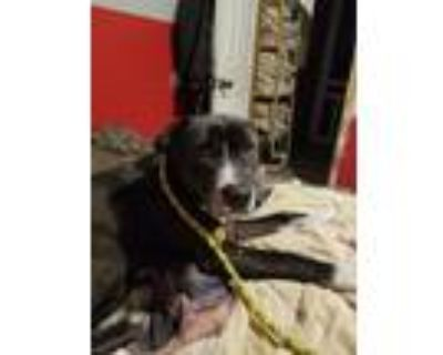 Adopt Byron a Gray/Blue/Silver/Salt & Pepper Labrador Retriever / Hound (Unknown