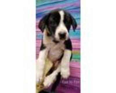Adopt Eye to Eye a Black Labrador Retriever dog in Merrifield, VA (31480402)