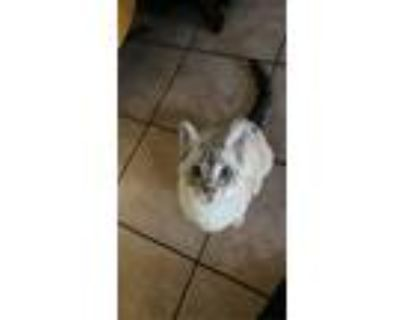Adopt Milo a Cream or Ivory Siamese / Mixed (medium coat) cat in Compton