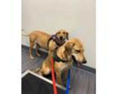Adopt DAISY a Labrador Retriever / Mixed dog in Gloucester, VA (31621642)