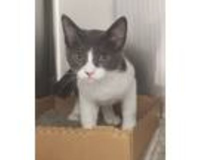 Adopt Pickles a Domestic Shorthair / Mixed cat in Houston, TX (32063458)