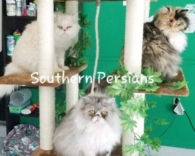 Persian kittens and Exotic Short Hair kitten cats persian cats