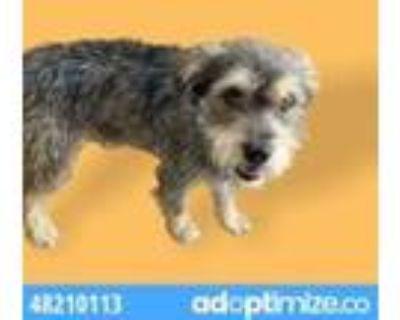 Adopt 48210113 a Gray/Blue/Silver/Salt & Pepper Schnauzer (Miniature) / Mixed