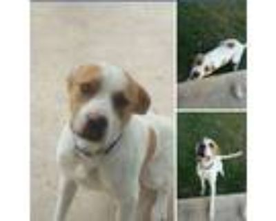 Adopt Chico a White - with Brown or Chocolate Labrador Retriever / American Pit