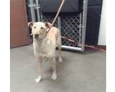 Adopt ASTER a Tan/Yellow/Fawn Labrador Retriever / Mixed dog in Phoenix