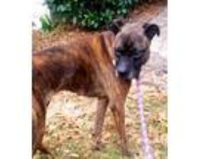 Adopt Roxy a Boxer, Plott Hound