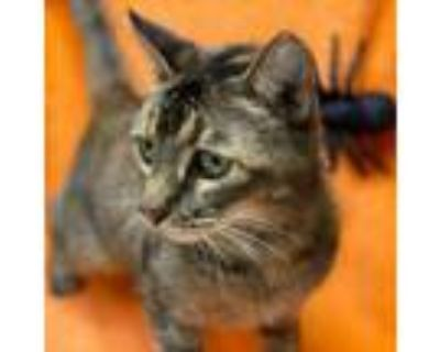 Adopt Miss Kitty a Brown or Chocolate Domestic Shorthair / Mixed cat in Folsom