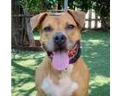 Adopt Peg a Staffordshire Bull Terrier, Boxer