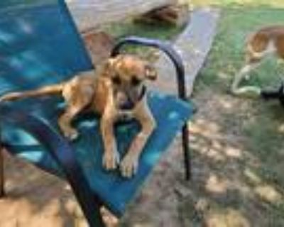 Adopt Ginger a Tan/Yellow/Fawn Terrier (Unknown Type, Small) / Catahoula Leopard