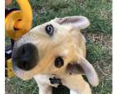 Adopt Lennie a Tan/Yellow/Fawn Labrador Retriever dog in Denver, CO (32053684)