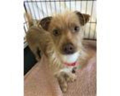 Adopt CHEWY BAKA a Terrier