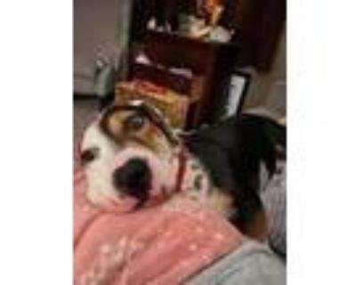 Adopt Oreo a Basset Hound