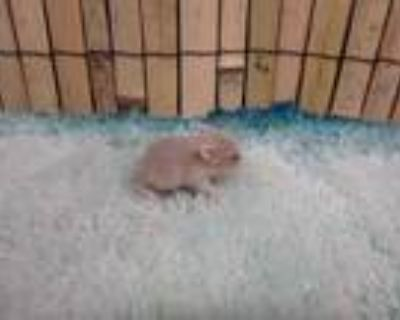 Adopt NUTTER BUTTER a Tan or Beige Hamster / Mixed small animal in Van Nuys