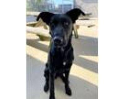 Adopt Oliver a Labrador Retriever, Shepherd