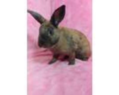 Adopt Tayler a Orange Cinnamon / Mixed (short coat) rabbit in lake elsinore