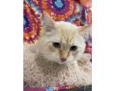 Adopt blue a White Domestic Mediumhair / Siamese / Mixed cat in Joshua
