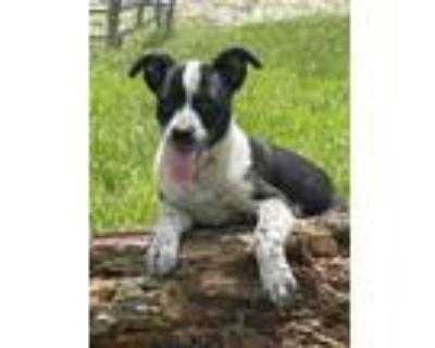 Adopt Kip a Black - with White Labrador Retriever / Catahoula Leopard Dog /