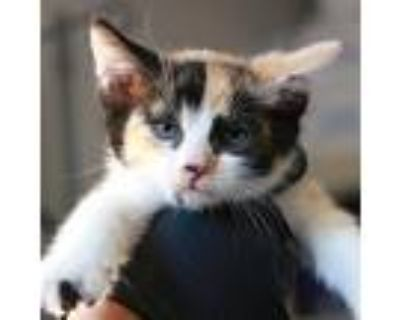 Gabby Gold, Domestic Shorthair For Adoption In Los Angeles, California
