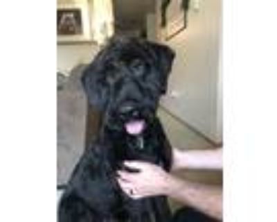 Adopt Dasher a Black Schnauzer (Giant) / Poodle (Standard) / Mixed dog in