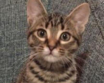Piper - Domestic Shorthair - Kitten Female
