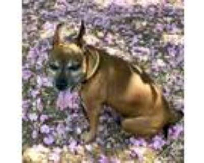 Adopt Petey (Urgent Need) a Miniature Pinscher, Terrier