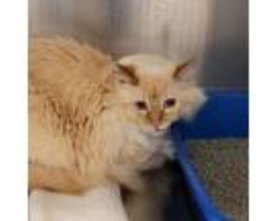 Adopt Archie a Siamese / Mixed cat in Golden, CO (31502962)