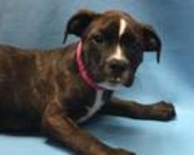 Adopt Trish a Brindle Shepherd (Unknown Type) / Mixed dog in Coon Rapids