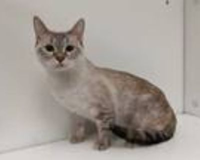 Adopt Natalie a Cream or Ivory Siamese / Domestic Shorthair / Mixed cat in