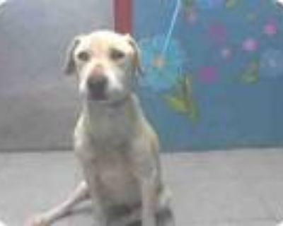 Adopt DOROTHY-Sponsorship a Yellow Labrador Retriever