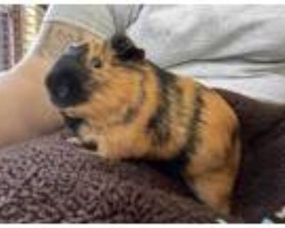Adopt Faylon a Black Guinea Pig / Guinea Pig / Mixed small animal in