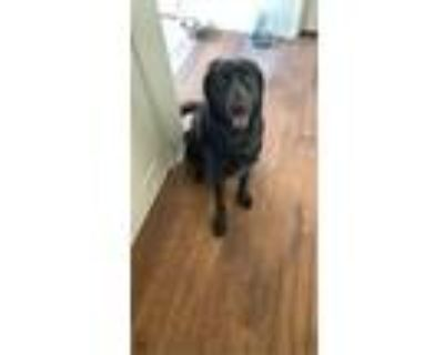 Adopt Nova a Black - with White Labrador Retriever / Newfoundland / Mixed dog in