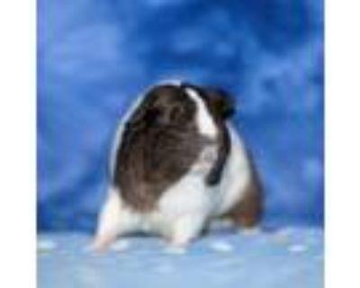 Adopt Cindy Bear a Guinea Pig