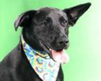 Adopt GUNNARSON a Black Labrador Retriever / Mixed dog in St.
