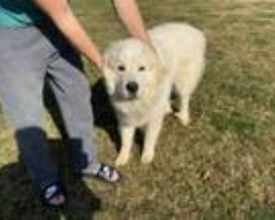 Adopt Buddy and Lucy - Young Bonded Pair a Great Pyrenees