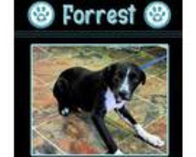 Adopt Forrest 072421 a Black - with White Blue Heeler / Labrador Retriever dog
