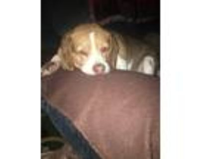 Adopt Sadie mae a Brown/Chocolate - with White Beagle / Mixed dog in