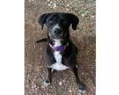 Adopt Macy a Black Labrador Retriever / Mixed dog in Cumming, GA (31111847)