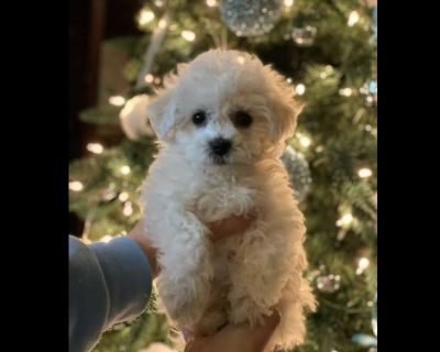 FINALLY BICHON PUPPIES GALORE.  CALL FOR ALL THE DETAILS