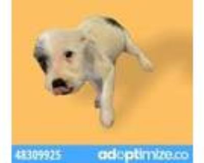 Adopt 48309924 a White Fox Terrier (Wirehaired) / Mixed dog in El Paso