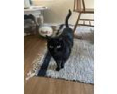 Adopt Bug a All Black American Shorthair / Mixed cat in Fort Worth