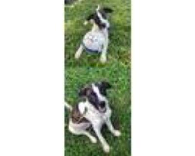 Adopt MS Murphy a Australian Shepherd / Hound (Unknown Type) / Mixed dog in