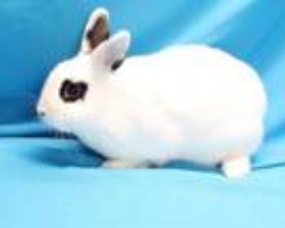 Adopt SPAGHETTI a Bunny Rabbit