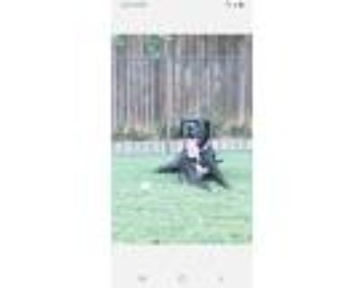Adopt Harley a Black - with White Great Dane / Boxer / Mixed dog in Arlington