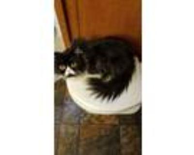 Adopt Imogene a Black & White or Tuxedo Persian cat in Modesto, CA (31648075)
